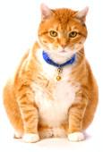 Les chats avec des douleurs d'articulation