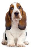 Les chiens avec des douleurs d'articulation